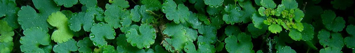 Feuillage de la Dorine à feuilles alternes
