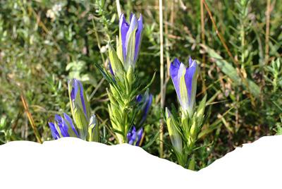 Fleurs de Gentiane pneumonanthe