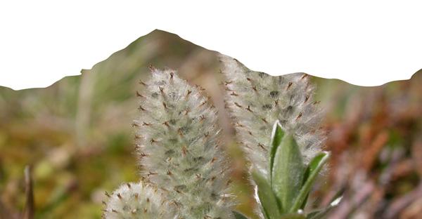 Salix lapponum photographié par julien barrataud