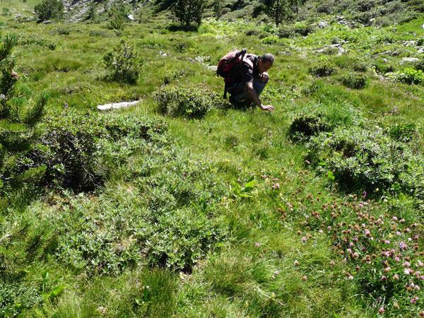 Illustration du suivi de terrain 2013 de Salix lapponum