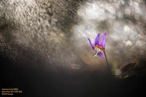 Erythrone photographié par Carole Reboul