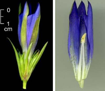 Stade reproducteur, fleurs de gentiana pneumonanthe
