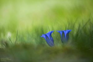 Gentiane photographiée par Carole Reboul