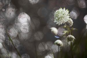 Grande astrance photographiée par Carole Reboul