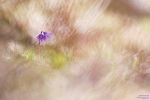 Soldanelle photographiée par Carole Reboul